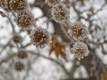 Coverered гололедью семя плоского дерева Стоковая Фотография