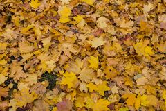 Covering from leaves of a maple stock image