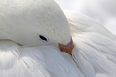 Covering Snow Goose Royalty Free Stock Photo
