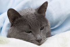 Covers Cat. My lovely cat lying under cover royalty free stock images