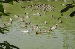 A covey of ducks swimming in the pond at sunny day. Selective focus shot royalty free stock images