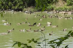 A covey of ducks swimming in the pond at sunny day. Selective focus shot stock photography