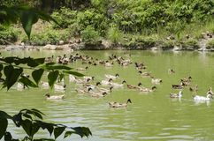 A covey of ducks swimming in the pond at sunny day. Selective focus shot royalty free stock photos