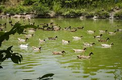 A covey of ducks swimming in the pond at sunny day. Selective focus shot royalty free stock photo