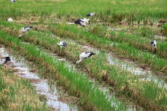 Covey of egret on harvested rice field. They use long mouth to dig in mud for their food royalty free stock photo