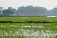 Covey of egret on harvested rice field. Asia royalty free stock photo