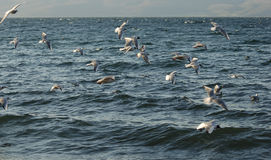 Covey of gulls on the lake. A covey of gulls fly on the lake in summer evening stock photos