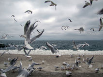 Covey of gulls on a marine beach in winter Stock Images