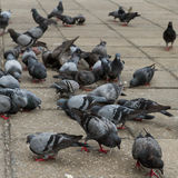 Covey of pigeon birds Stock Photo