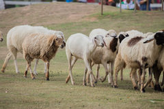 Covey sheep Royalty Free Stock Image