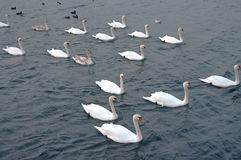Covey of swans Royalty Free Stock Images