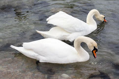 Covey of swans Stock Images