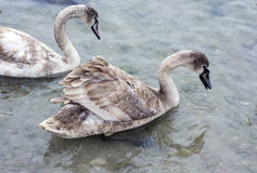 Covey of swans Royalty Free Stock Photos