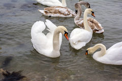 Covey of swans Stock Photography