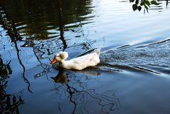 A covey of wild duck crested swim. Is in the river royalty free stock photos