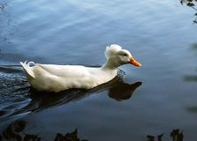 A covey of wild duck crested swim. Is in the river stock photography