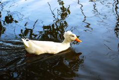 A covey of wild duck crested swim. Is in the river stock image