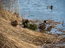 Covey of wild duck Stock Photography