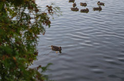 A covey of wild duck is in the river. A covey of wild duck is in the river Stock Image