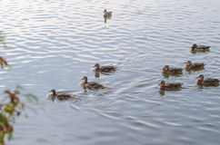 A covey of wild duck is in the river. Stock Photo