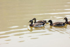 A covey of wild duck is in the river, thailand Royalty Free Stock Photography