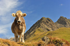 Cow… queen of the mountains Royalty Free Stock Photos