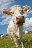 cow белизна Стоковые Фотографии RF