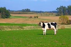 cow весна ландшафта Стоковое Изображение RF