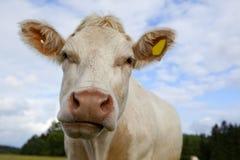 cow взгляд Стоковое Изображение