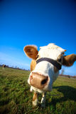 cow в стиле фанк Стоковое Фото