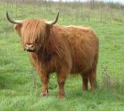 cow гористая местность Стоковое Фото