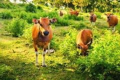 Cow портрет Корова лежа на траве горы Стоковые Изображения RF