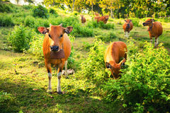 Cow портрет Корова лежа на траве горы Стоковое фото RF