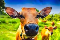 Cow портрет Корова лежа на траве горы Стоковые Фото