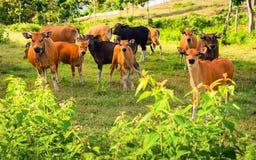 Cow портрет Корова лежа на траве горы Стоковая Фотография