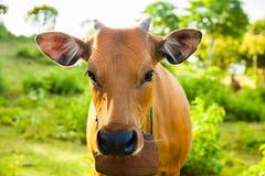 Cow портрет Корова лежа на траве горы Стоковые Фотографии RF