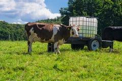 cow лужок Стоковое Изображение