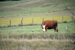 Cow 01 Stock Photos