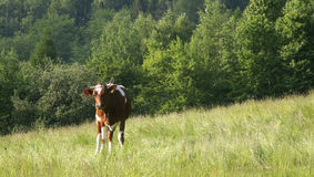 Cow #01. Photo of a cow near forest royalty free stock photography
