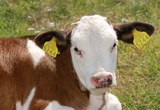 Cow 03. Young cow on the grass Royalty Free Stock Image