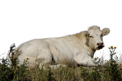 Cow 1. Cow lying in a field isolated from the sky Stock Images