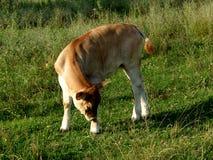 Cow...(1) Royalty Free Stock Photos