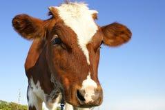 Free Cow 1 Stock Image - 3598731