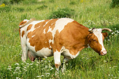 Cow. Brown and white cow in the meadow Stock Image