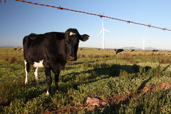 Cow. S in a meadow with two wind turbines Royalty Free Stock Images