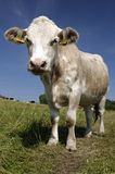 Cow. A cow in a pasture stock photo