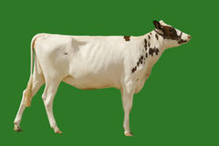 Cow. A white pedigree cow isolated Royalty Free Stock Image