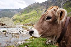 Cow. Pictures of a cow in the austrian alps (summer Stock Image