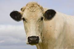 Free Cow Royalty Free Stock Photo - 11061495