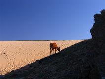 Cow. Ox in the Handsaw Hill in Jericoacoara's beach, in the state of Cear�, northeast of Brazil Stock Photo